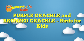 PURPLE GRACKLE and BRONZED GRACKLE – Birds for Kids