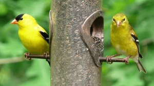 Read more about the article AMERICAN GOLDFINCH – Birds for Kids