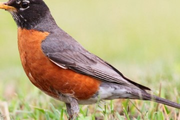 AMERICAN ROBIN – Birds for Kids