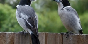 BUTCHER-BIRDS OR SHRIKES – Birds for Kids