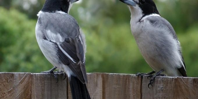 BUTCHER-BIRDS OR SHRIKES – Birds for Kids