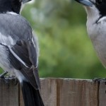 Read more about the article BUTCHER-BIRDS OR SHRIKES – Birds for Kids