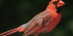 CARDINAL GROSBEAK (Virginia Nightingale) – Birds for Kids