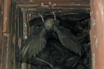 CHIMNEY SWIFT – Birds for Kids
