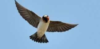 CLIFF SWALLOW – Birds for Kids