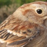 FIELD SPARROW – Birds for Kids