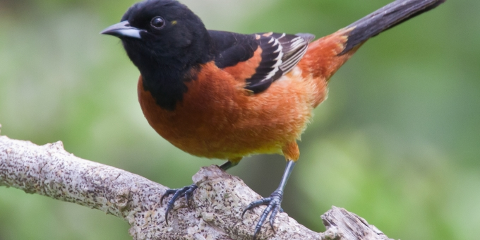 ORCHARD ORIOLE BIRD – Birds for Kids
