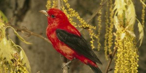 Read more about the article SCARLET TANAGER – Birds for Kids