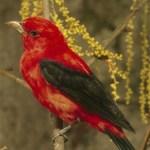 SCARLET TANAGER – Birds for Kids