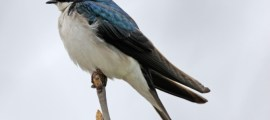 TREE SWALLOW (White-breasted Swallow) – Birds for Kids