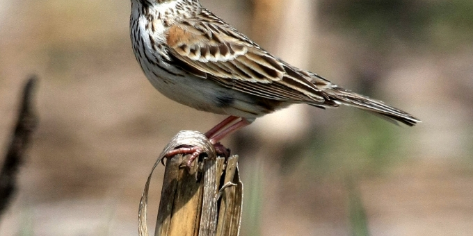 VESPER SPARROW – Birds for Kids