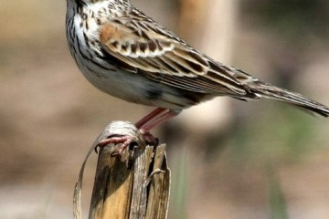 VESPER SPARROW – Birds for Kids