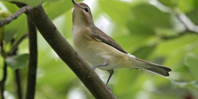 WARBLING VIREO – Birds for Kids