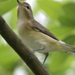 Read more about the article WARBLING VIREO – Birds for Kids