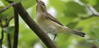 WARBLING VIREO – Birds for Kids