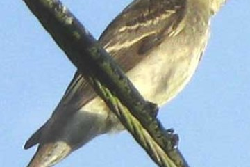 WOOD PEWEE BIRD – Birds for Kids