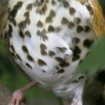 Read more about the article WOOD THRUSH, Song Thrush, Wood Robin, Bell Bird – Birds for Kids