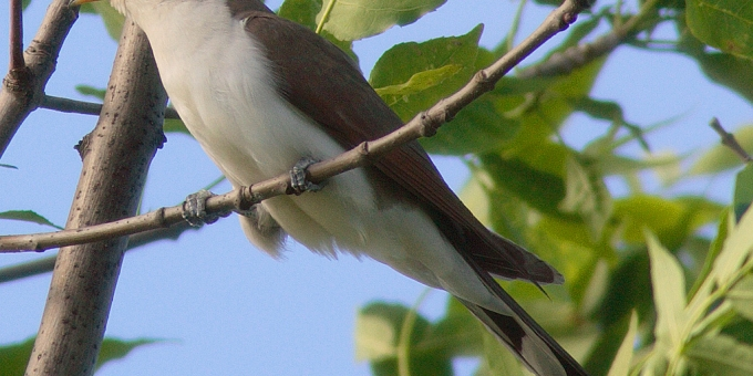 YELLOW-BILLED CUCKOO, Rain Crow – Birds for Kids