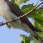 Read more about the article YELLOW-BILLED CUCKOO, Rain Crow – Birds for Kids