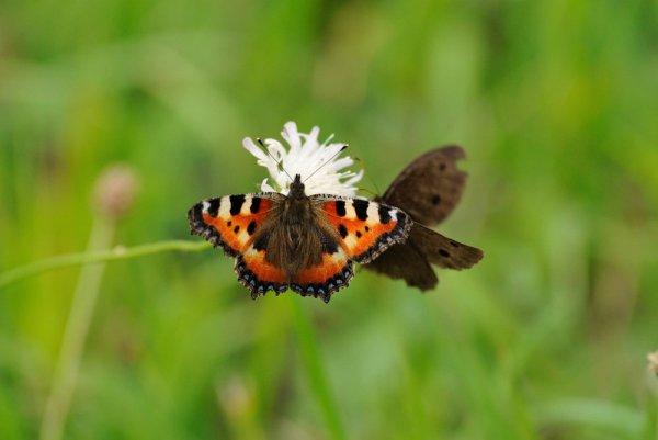 Butterflies-Sharing-Flower