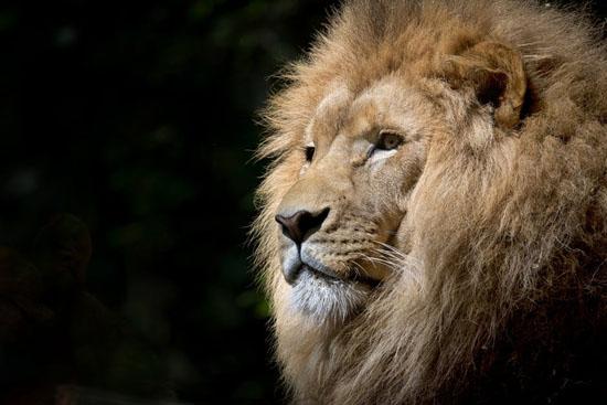 Free Lion Stock Photos