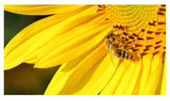 Bee-And-The-Sunflower