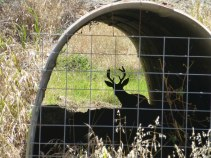 A fenced off tunnel under Crockett Blvd. On the way through the parking lot I spotted this tunnel. The Deer was relaxing in the shade.