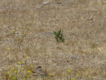 Killdeer (bottom left)