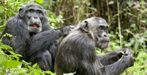 'Chimpanzee' Offers a Delightful Observation of Monkey Business