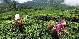 India's Tea Production Saw an Marginal YoY Growth of 1.41 %