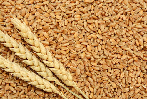 Wheat And Rice Yield Attains A Record Apex, Worries Over Stockpile