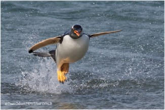 02 Leaping Gentoo