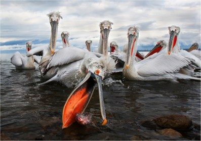 03. Dalmation Pelican Fishing by Margaret Tabner