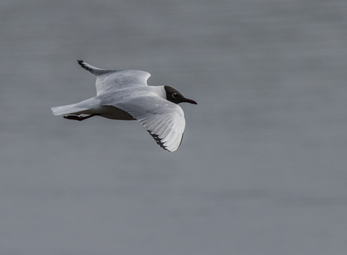 04 Black Headed Gull in Flight