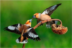 Hawfinches Fighting 8677