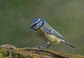 09 Blue Tit