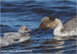 09 Silvery Grebe parent feeding chicks