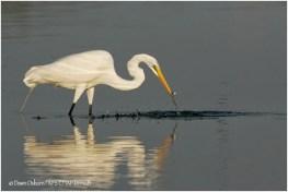 11 Great Egret fishing