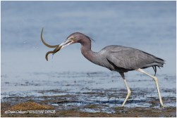 12 Little Blue Heron with Snake Eel