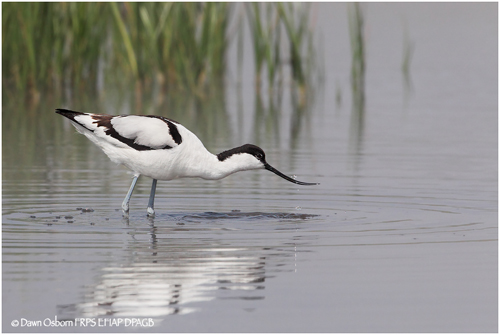 14 Avocet feeding