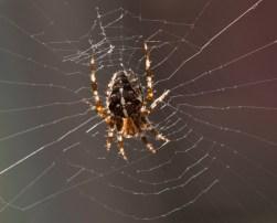 18 Garden Spider