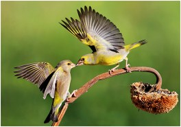 Greenfinches fighting - Paul Keene