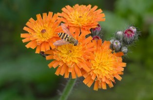 Hoverfly Feeding on Fox and Cubs