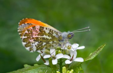 Barbara Lawton - Male Orange Tip Butterfly