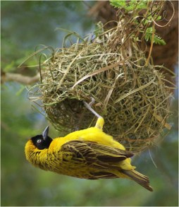 MASKED WEAVER BIRD AT NEST