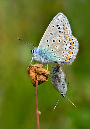 Paired Common Blues Female in Balance