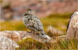 Ptarmigan summer plumage