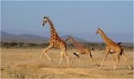 RETICULATED GIRAFFES RUNNING SAMBURU