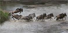 Wildebeest Crossing Talek River