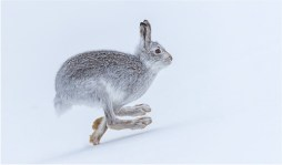 14.Running Mountain Hare-Phillipa Wheatcroft_resize